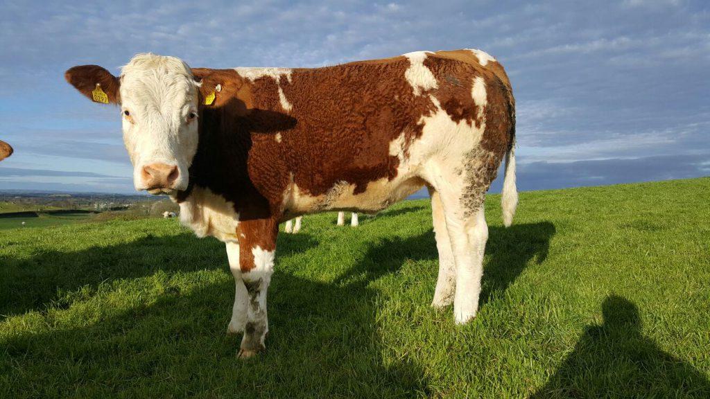 simmental heifer