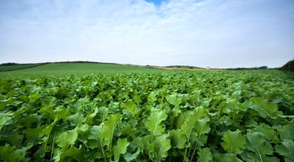 Brassicas: How forage crops can play a valuable role?