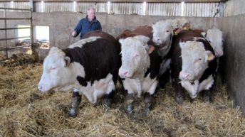 Irish Herefords en route to Russia