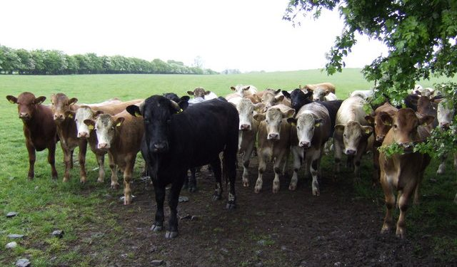 'Cattle trade buoyed by factory and exporter demand'