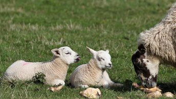 Strong demand creating 'buoyant' lamb market