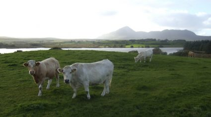Cattle prices on the increase this week