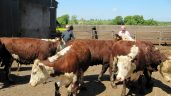 Over 100 pedigree Irish Herefords depart for Russia