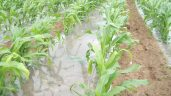 Want to learn more about growing maize?