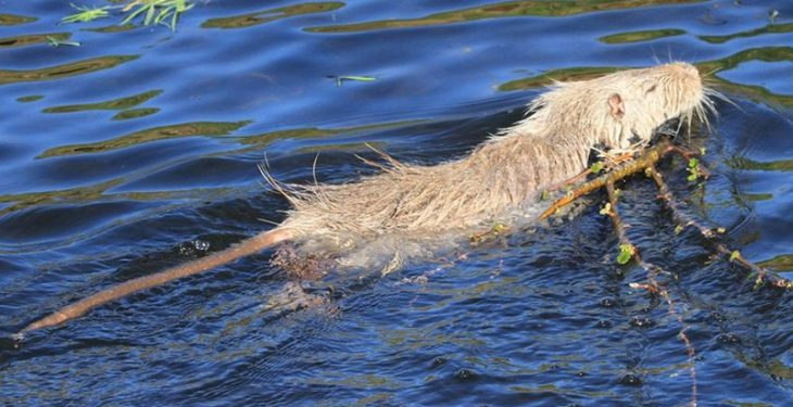 Rat-like coypu feared to be spreading around the country