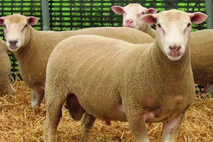 Move away from continental breeding pays dividends for Co. Tyrone sheep farmer