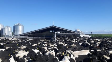 4,000 NZ cattle to be culled in an effort to contain contagious disease