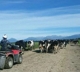 New Zealand milk output to fall by 10%