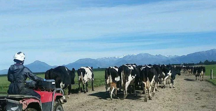 New Zealand farmer hit by outbreak not charged