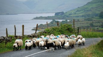 Farmers warned to be extra vigilant after multiple sheep thefts in Donegal