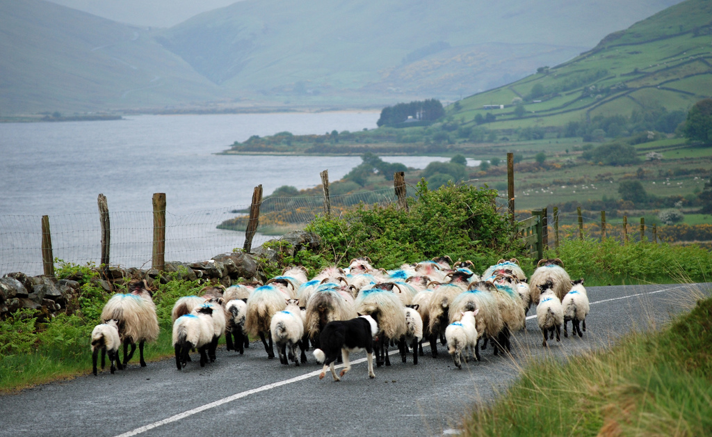 Map: Where are Ireland's sheep?