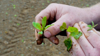 Why are split spray applications so important for fodder beet?