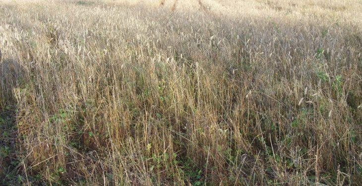 New premixed GLAS wild bird cover crop reduces rat problems