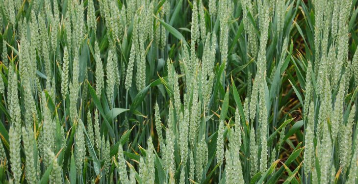 Major challenge posed by Black Grass and Brome Grass
