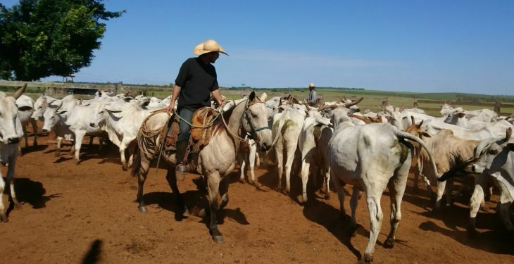 A student's view: Scanning 500 Nelore cows – all in a day's work in Brazil