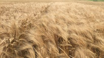 Does barley yellow dwarf virus pose a threat to my crops?