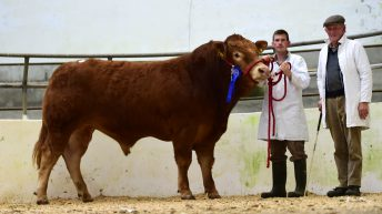 Five-star bulls top Irish Limousin Society's sale