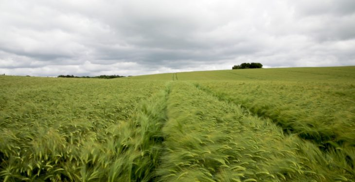 CROPS WATCH UPDATE: Winter barley on track to produce high yields