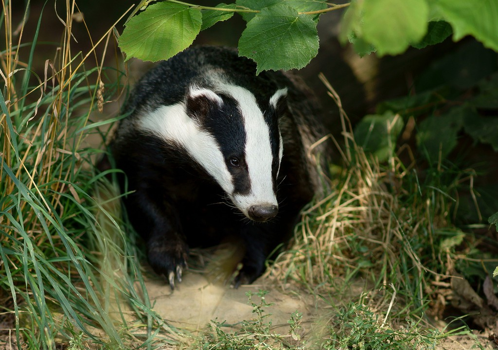 Link between badgers and deer with bovine TB explained