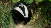 Final year of NI 'Test and Vaccinate or Remove' badger project gets under way