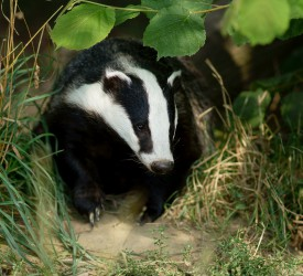 Badger culling 'necessary until TB significantly reduced'