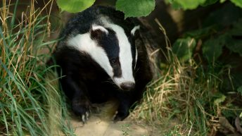 Discovery of 'super-ranging' badgers offers 'opportunity' to fight against TB
