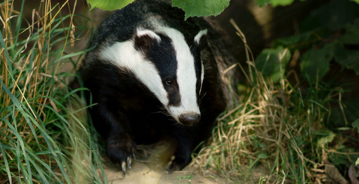 'No one talks about the suffering badgers'
