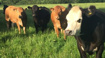 Factory buyers' pool of cattle getting smaller