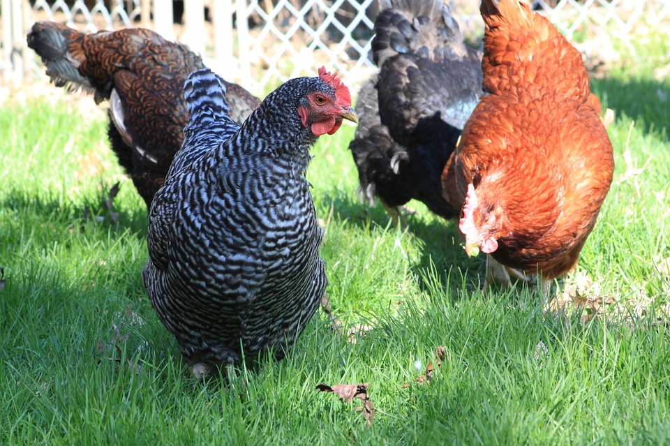 Chickens In French Coop 'Gang Up And Kill Fox'