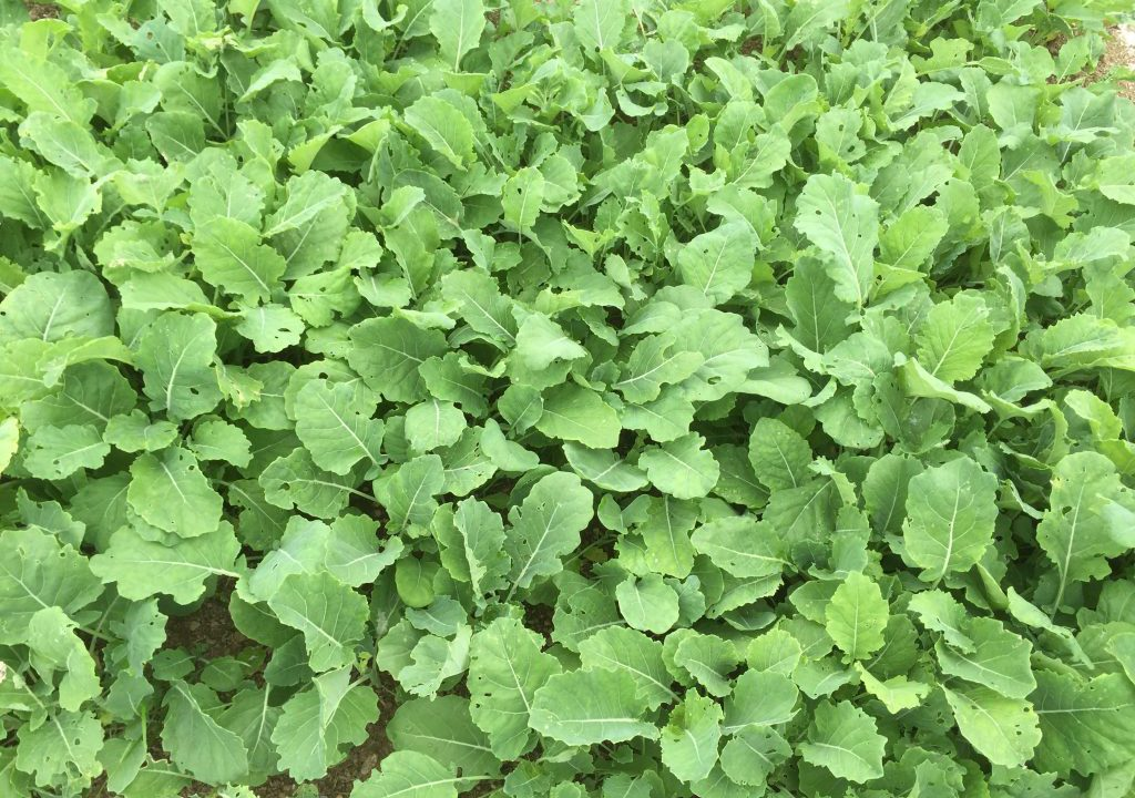 Choosing between kale or Redstart; what's the best option?