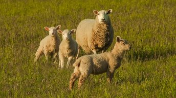 Northern sheep numbers hit highest since 2004