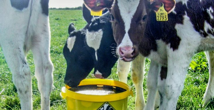 Helping heifer calves hit calving targets with high-energy Vitulix