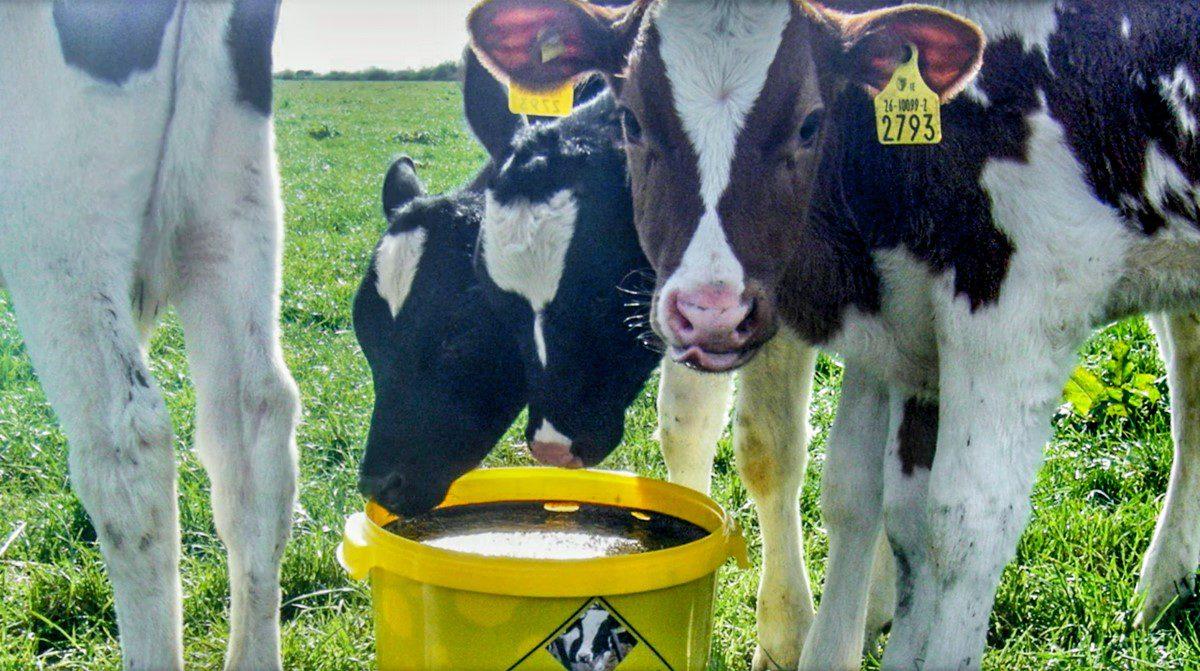 Helping heifer calves hit calving targets with high-energy Vitulix