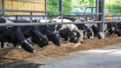 Is rose veal a viable option for Holstein Friesian bull calves?