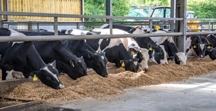 Is rose veal a viable option for Holstein Friesian bull calves?