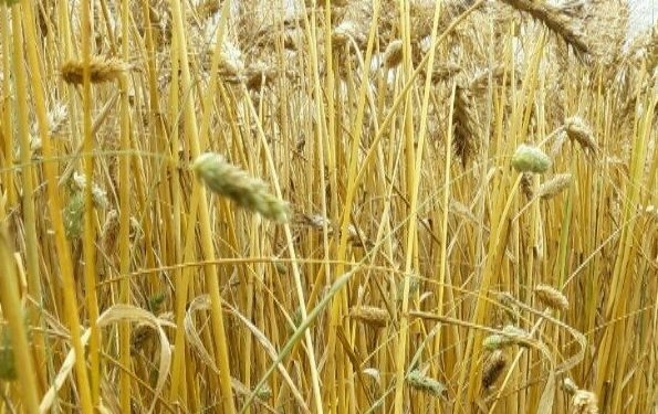 Take note of grass weeds from the combine