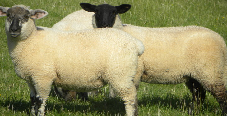 Sheep marts: Spring lambs meet a mixed trade
