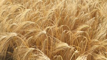5-10% yield jump expected from 'next generation' hybrid barley varieties