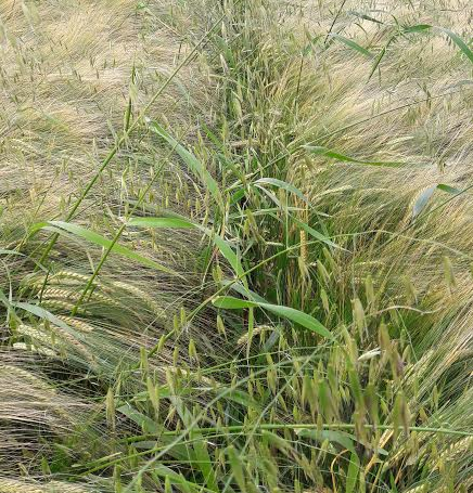 Controlling wild oats with broadleaved application
