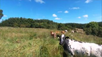Video: Man uses drone to herd stray cattle off his land