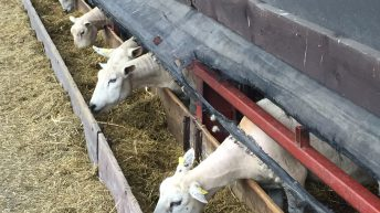 Are you feeding your ewes enough in late pregnancy?