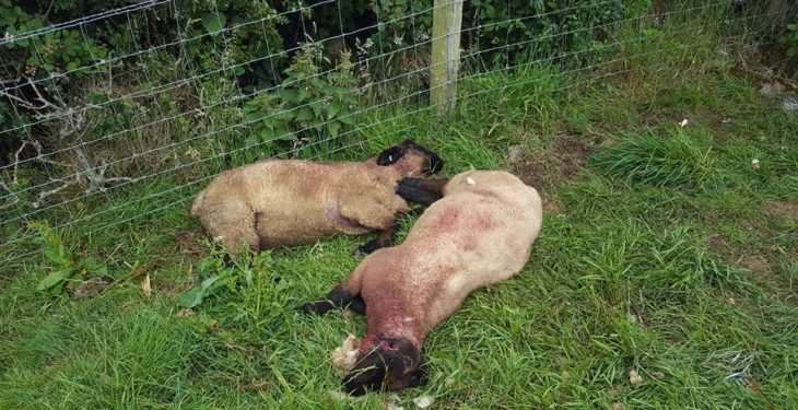 Graphic content: Sheeps' ears sliced off and 'throats stabbed' in malicious attack