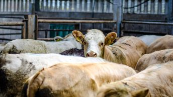 Cattle marts: Sale sizes continue to increase