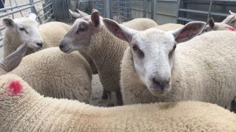 Wanted: 10,000 ram lambs for export