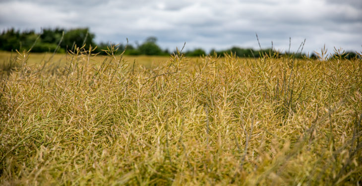 Oilseed rape – one of the better stories so far this harvest