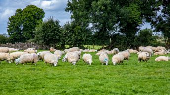 Net margins jump by €95/ha on sheep farms in 2016