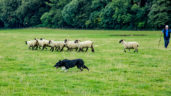 National sheep dog trials head west