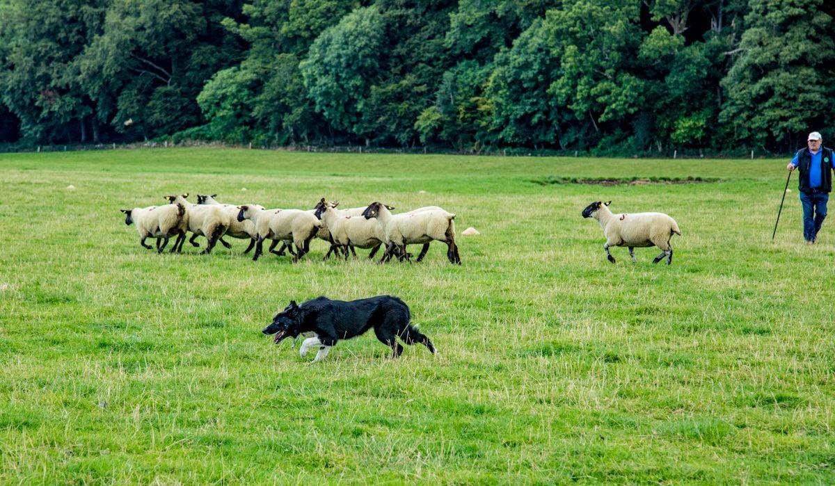 National sheep dog trials head west