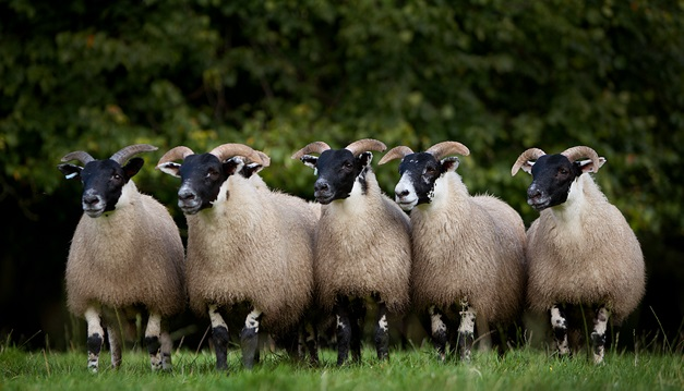 Mandatory NI sheep dipping course in force for autumn 2017