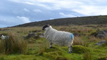 Special EU status sought for Comeragh Mountain Lamb